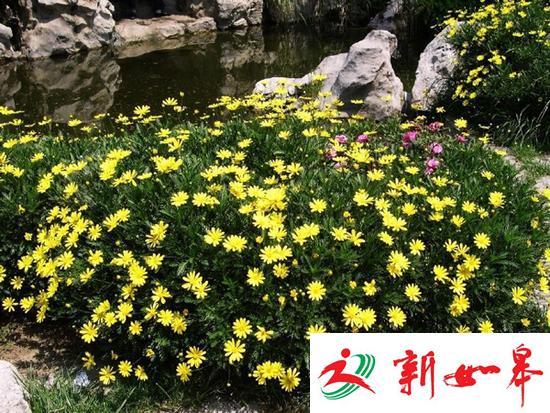 上海迪士尼频遭采花贼 一夫妻割三百斤菊花被刑拘